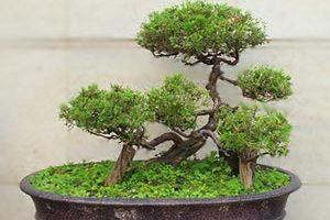como hacer bonsái